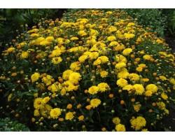 Хризантема средняя
